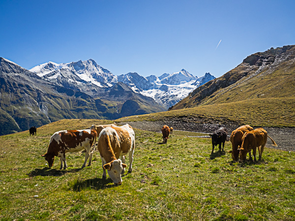 Zinalrothorn and pasture